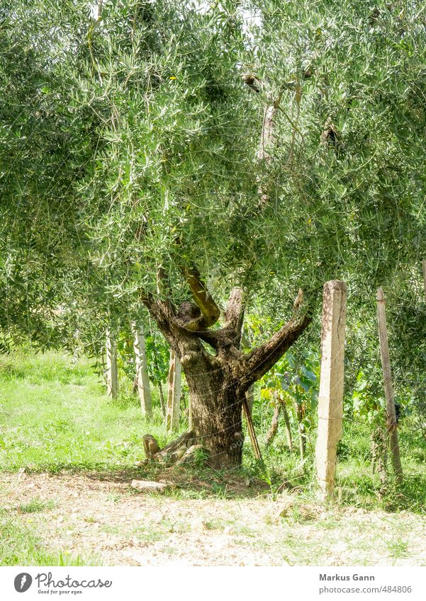 Olive trees in Italy Vacation & Travel Summer Nature Plant Beautiful weather Tree Foliage plant Agricultural crop Esthetic Green Tourism Sunset Planning Europe