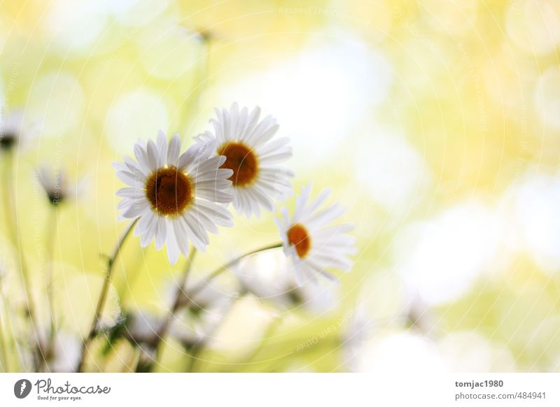 Nature Beautiful Green White Plant Flower Yellow Meadow Grass Blossom Natural Bright Garden Background picture Glittering Illuminate