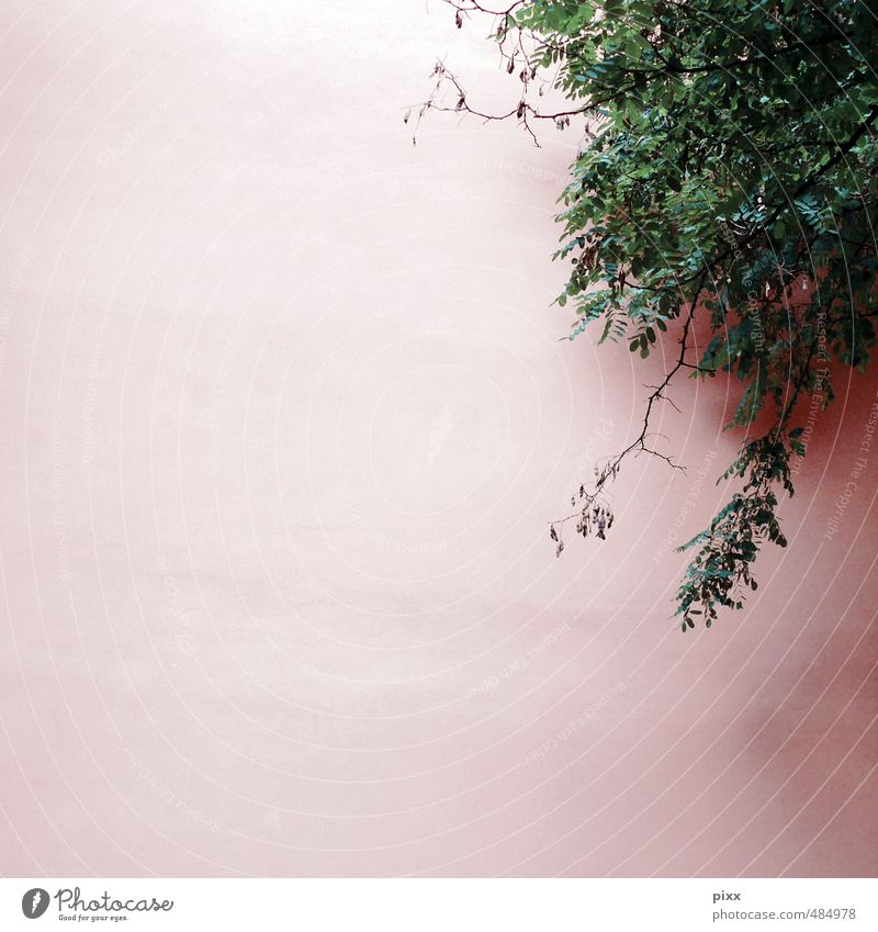Nature Green Plant Leaf Environment Wall (building) Wall (barrier) Small Above Pink Facade Growth Bushes Beautiful weather Hang Plaster