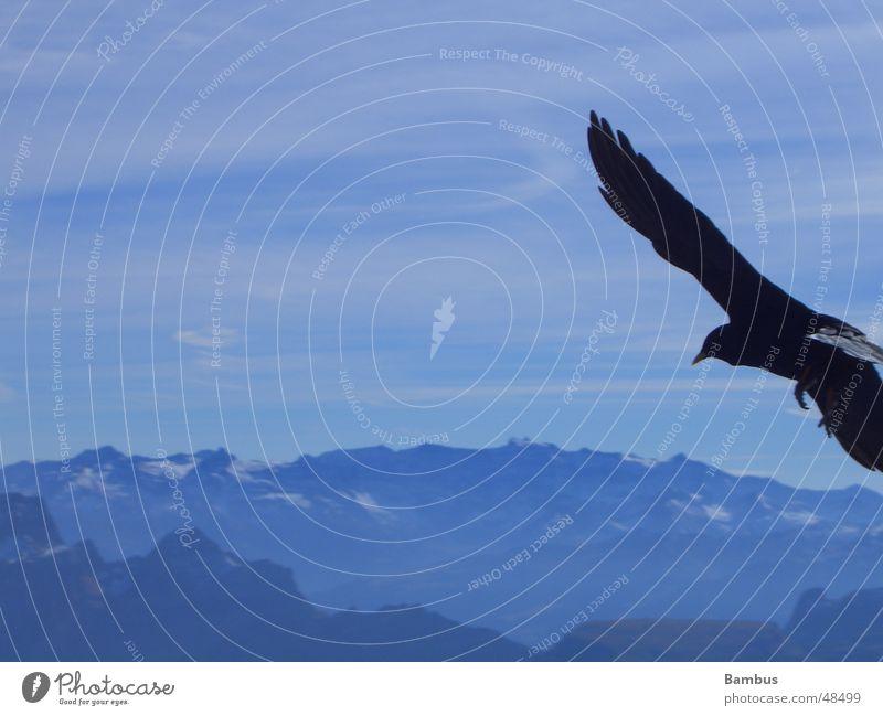 Portrait of a flying bird Bird Jackdaw Beak Clouds Wing Feather Flying Mountain Alps Blue Sky