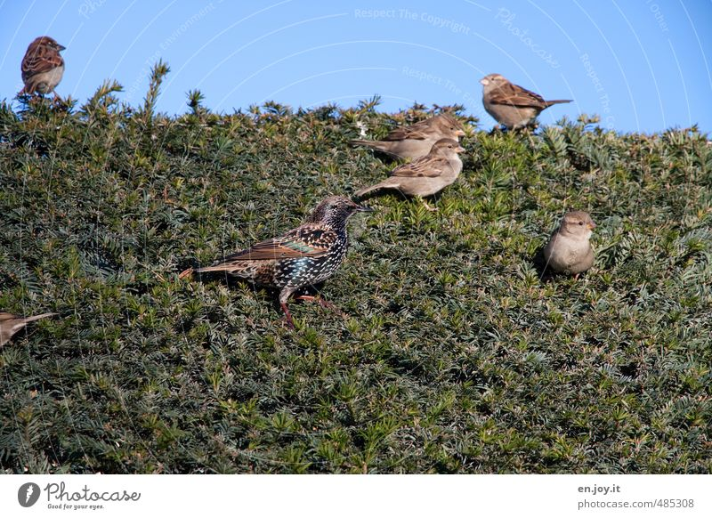 hedge Nature Animal Sky Hedge Coniferous trees Wild animal Bird Sparrow Group of animals Blue Brown Green Joie de vivre (Vitality) Spring fever Ease