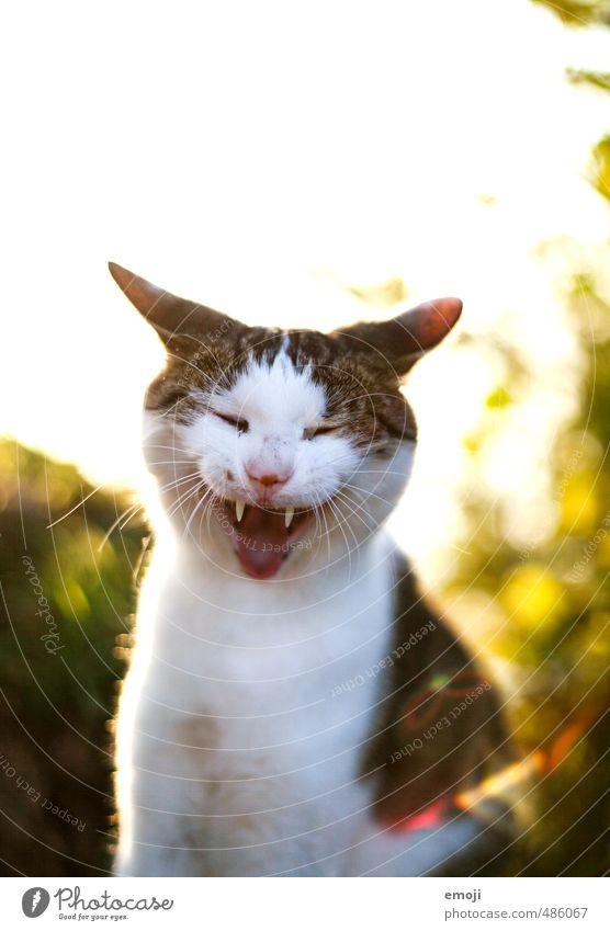 sewähähäh Animal Pet Cat Animal face Pelt 1 Funny Positive Yawn Laughter Colour photo Exterior shot Copy Space top Morning Evening Back-light Animal portrait