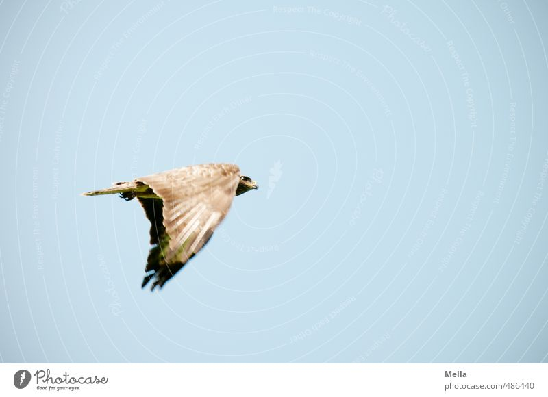 Catch Me If You Can Environment Nature Animal Air Sky Wild animal Bird Hawk Common buzzard 1 Movement Flying Free Natural Blue Freedom Colour photo