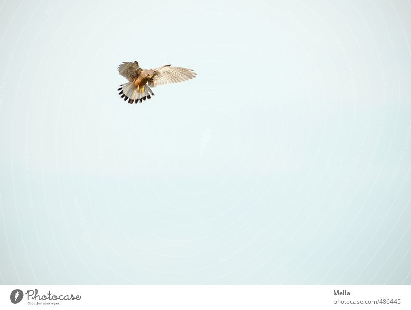 Aim Environment Nature Animal Air Sky Wild animal Bird Falcon Kestrel 1 Observe Flying Hunting Looking Simple Free Tall Natural Endurance Effort Movement