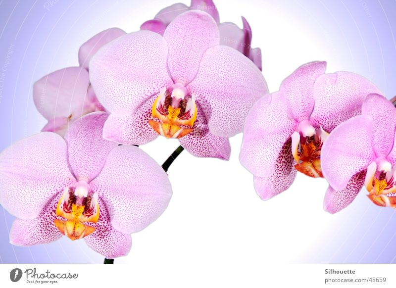 Nature Beautiful Flower Blossom Pink Orchid