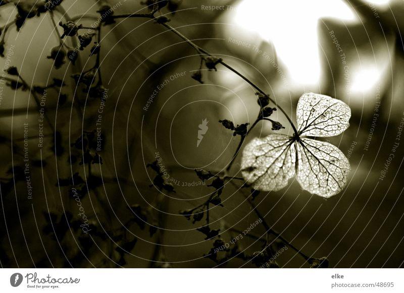 Nature Plant Autumn Blossom Sadness Botany Shriveled Faded Dried Limp Hydrangea