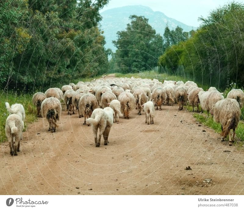 Sheep or dogs? Environment Nature Landscape Plant Animal Spring Tree Bushes Field Hill Sardinia Lanes & trails Pet Farm animal Dog Pelt Group of animals Herd