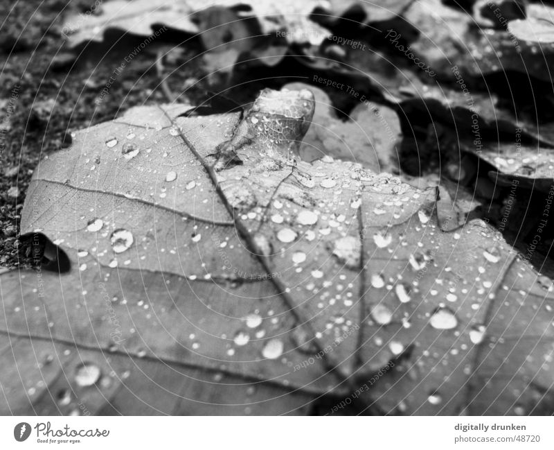remnants Autumn Leaf Drops of water Rain Dew Rope contrasts Black & white photo Nature