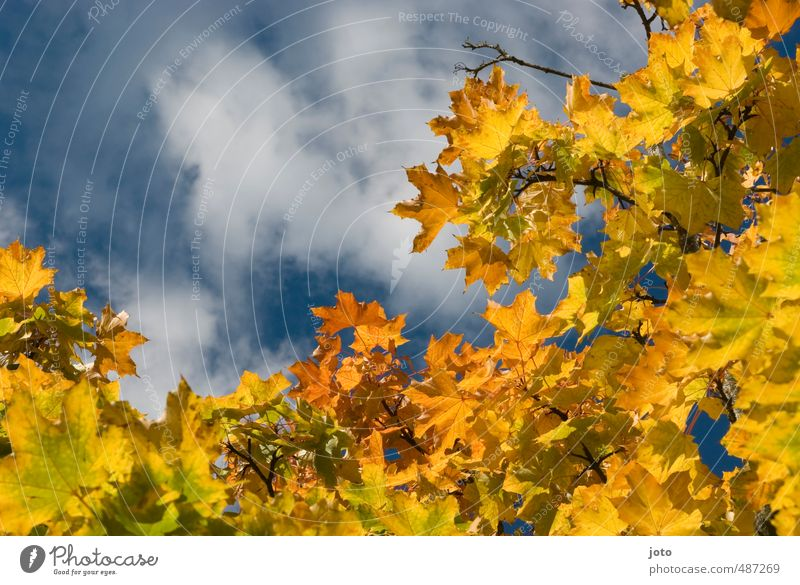 Nature Colour Plant Tree Clouds Leaf Yellow Autumn Illuminate Transience Seasons Decline Hang Autumn leaves Easy Frame