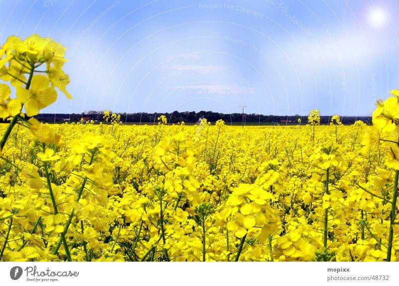 flower bed Flower Dresden Yellow Canola Field Light Horizon Sky Sun