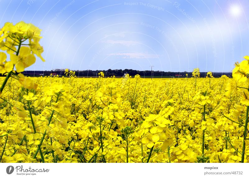 Sky Sun Flower Yellow Field Horizon Dresden Canola