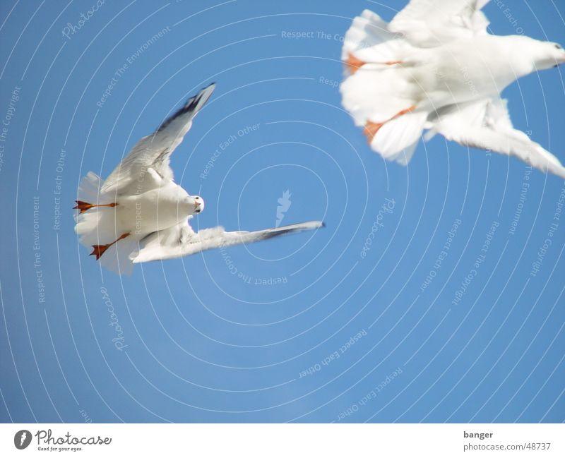 Little white Peace Gull ... Ocean Beach Seagull Bird Feed Baltic Sea Appetite hitchcock Sun Sky Blue