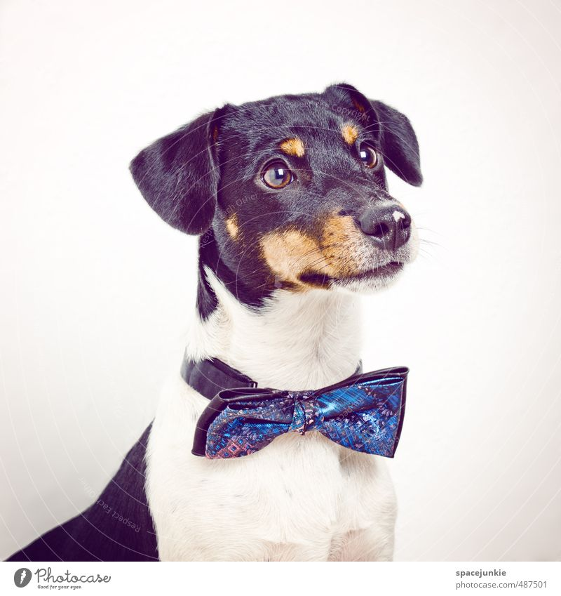 Johnny Animal Pet Dog 1 Wait Exceptional Cool (slang) Funny Curiosity Blue Yellow Black White Dog's head Puppydog eyes Bow tie Fashion Humor Cute Beautiful