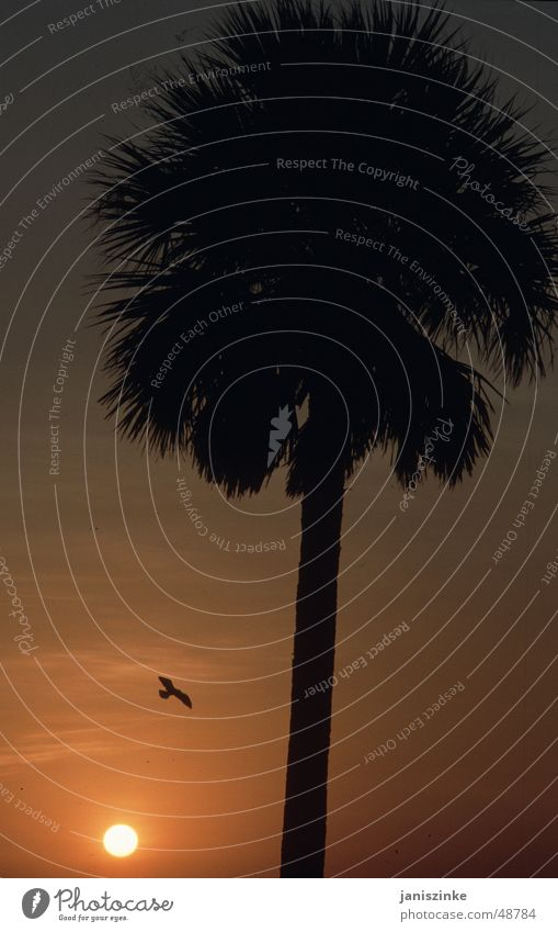 palm decline Physics Vacation & Travel Relaxation Sunset Romance Bird Eagle Americas Palm tree Silhouette Red Glow Yellow Beach Ocean Calm Future Exterior shot
