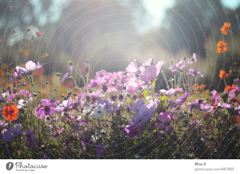 Summer Flower Meadow Spring Blossom Bright Blossoming Fragrance Summery Flower meadow Meadow flower Cosmos