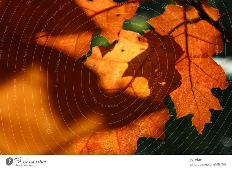 autumn Autumn Light Leaf Thread Warmth Shadow Fragrance Sun