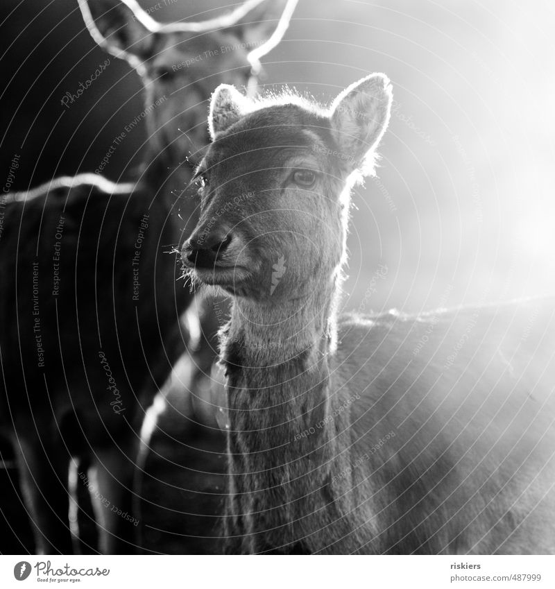 glowing deer - the best at the end ;) Spring Autumn Animal Wild animal Roe deer 2 Observe Illuminate Looking Wait Esthetic Bravery Self-confident Power