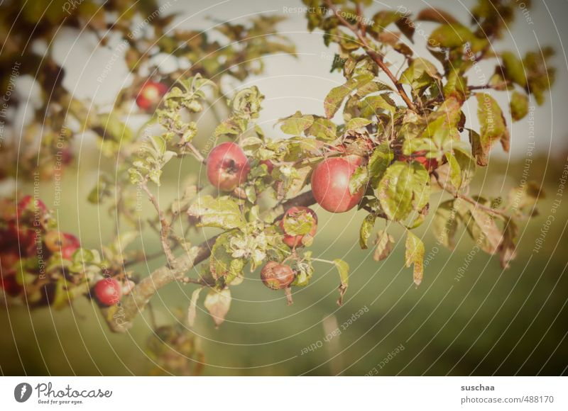 there are still some left ... Environment Nature Autumn Beautiful weather Tree Leaf Garden Green Red Apple Apple tree Fruit Fruit garden Colour photo