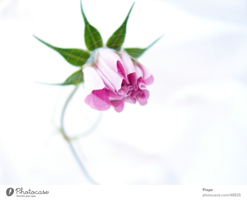 Nature Plant Flower Blossom Garden Power Elegant Growth Force Blossoming Bud Development Graceful
