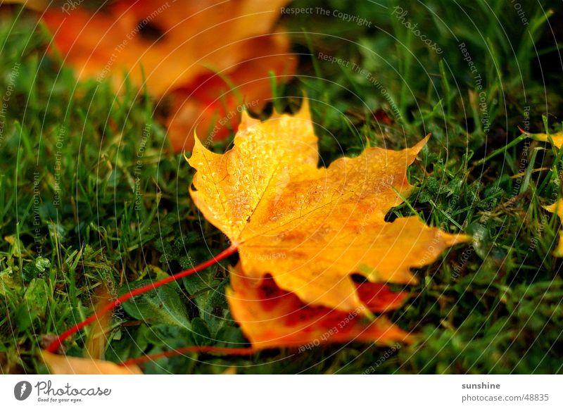 Leaf Yellow Autumn Maple tree Maple leaf