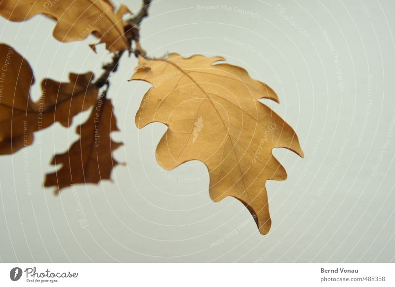 Friday paper Autumn Plant Leaf Beautiful Brown Gray Black White Autumnal Twig Death Colour Contour Structures and shapes Rachis Transience Resume Oak tree
