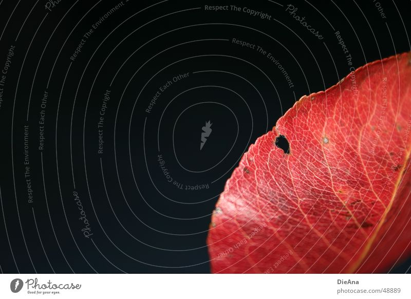 Red Leaf Black Autumn Glittering Change To fall Hollow Partially visible Vessel Colouring