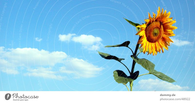 last Flower Summer Sunflower Stand Clouds Yellow Green Nutrition Delicious Growth Round Leaf Americas Nature Blue food