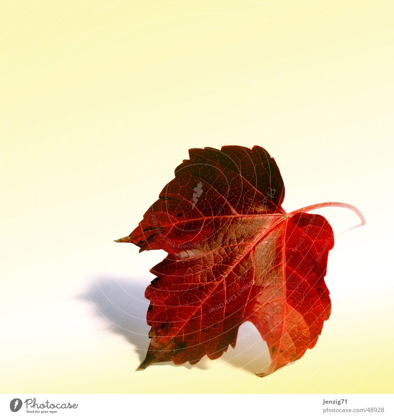 The leaf. Leaf Vine leaf Autumn Tree Plant Autumn leaves Autumnal