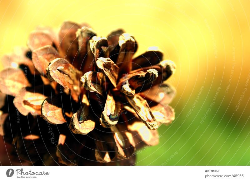 pine cone Autumn Cone Nature Pine Autumnal To fall Pine cone 1 Shallow depth of field Deserted Close-up