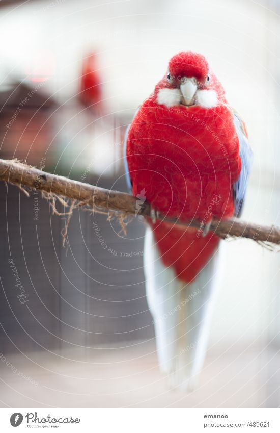 you red bird Animal Bird Zoo 1 Looking Sit Wait Fat Large Beautiful Uniqueness Blue Red Canary bird Feather Cage Bird's cage Branch Claw Beak Tree bark
