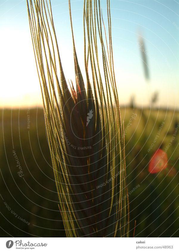 Nature Summer Grain Grain