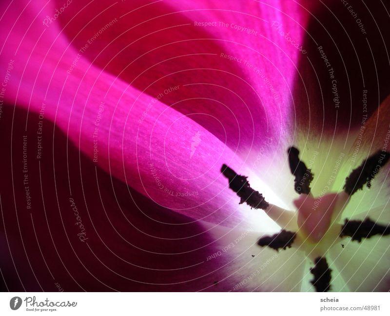 Purple Purple Flower Tulip Macro (Extreme close-up) Violet Light Color gradient Transparent