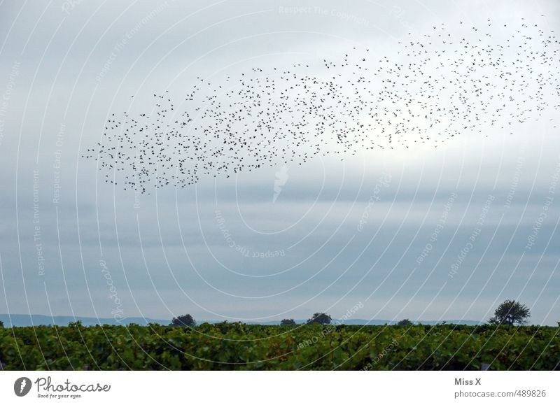 swarm Nature Landscape Animal Sky Clouds Summer Autumn Wild animal Bird Group of animals Flock Flying Timidity Vineyard Flock of birds Starling Migratory bird