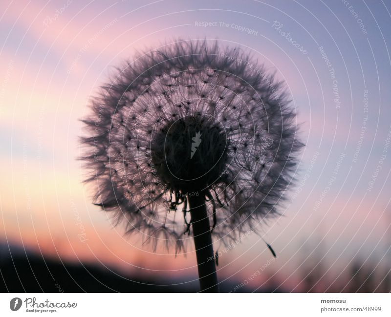 blowball Dandelion Sunset Moody Seed Sky Evening