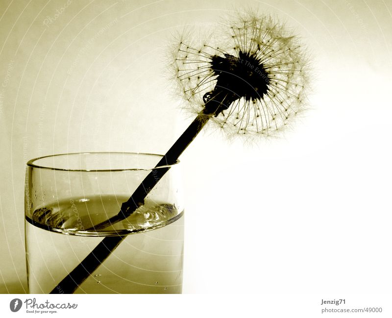 Transience. Flower Dandelion Tumbler Autumn Grief Glass End Seed Sadness Limp