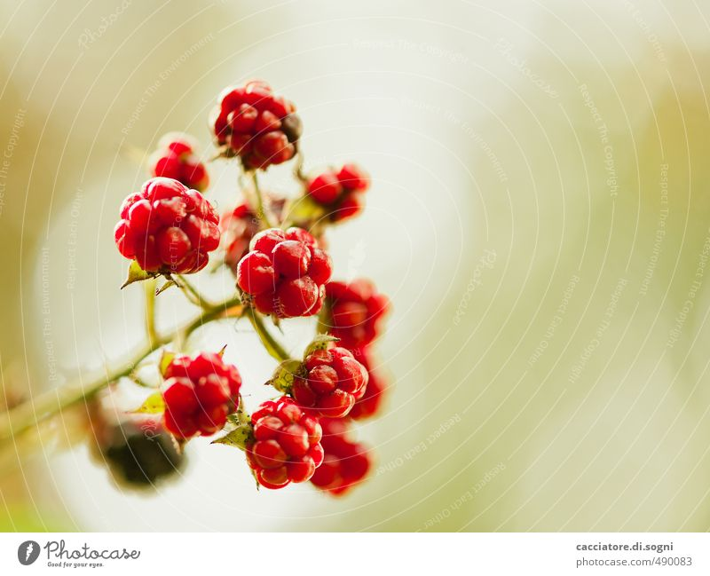PROCEDURE Nature Plant Sunlight Autumn Beautiful weather blackberry Esthetic Exotic Free Friendliness Fresh Together Round Juicy Sweet Red Happy