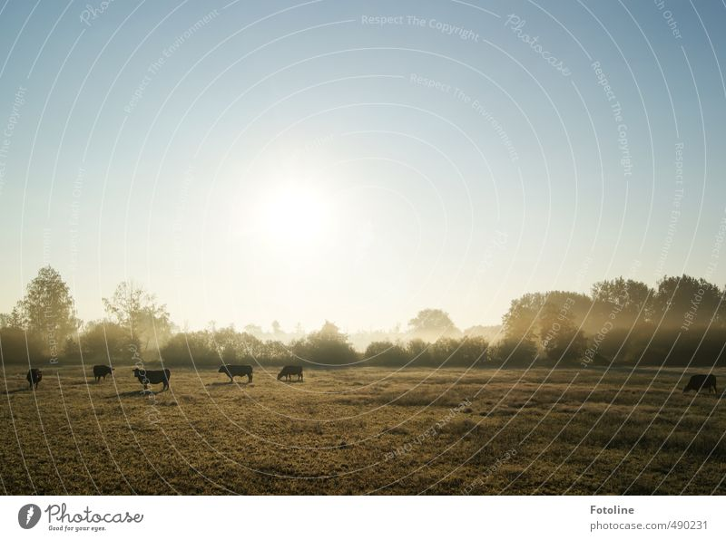 Sky Nature Plant Sun Tree Landscape Animal Cold Environment Meadow Autumn Natural Bright Bushes Cloudless sky Cow