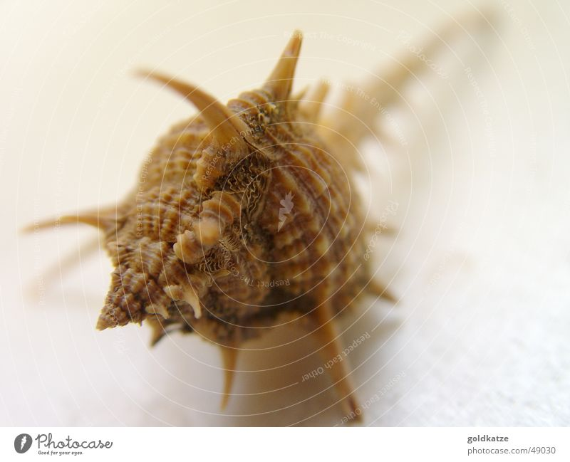 prickly Snail shell Mussel Ocean Summer Beach Thorn Brown Animal Safety Decoration Water Sheath Defensive Point Spine