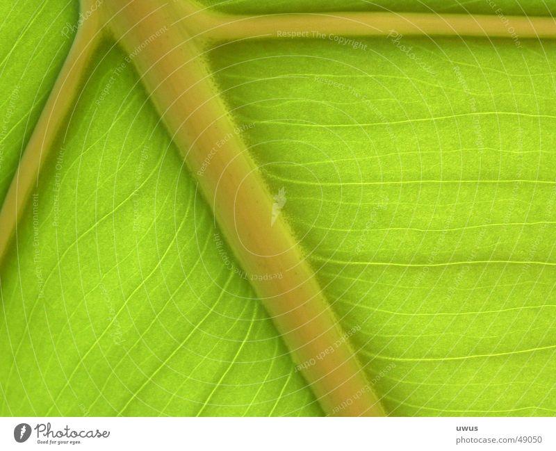 banana leaf Leaf Banana Green Vessel chlorophyl Prison cell