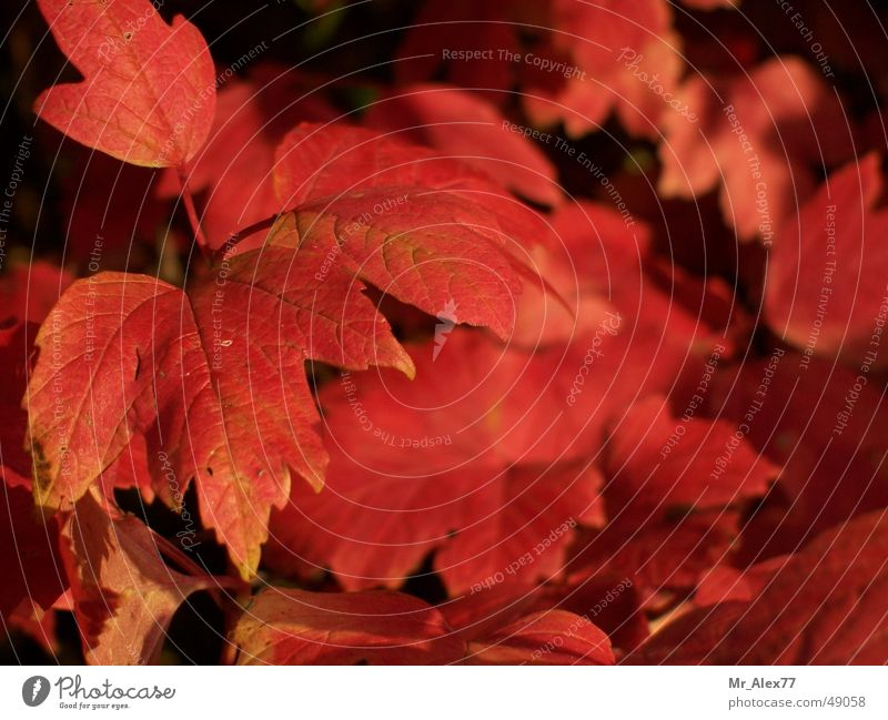 Nature Red Leaf Autumn Bushes