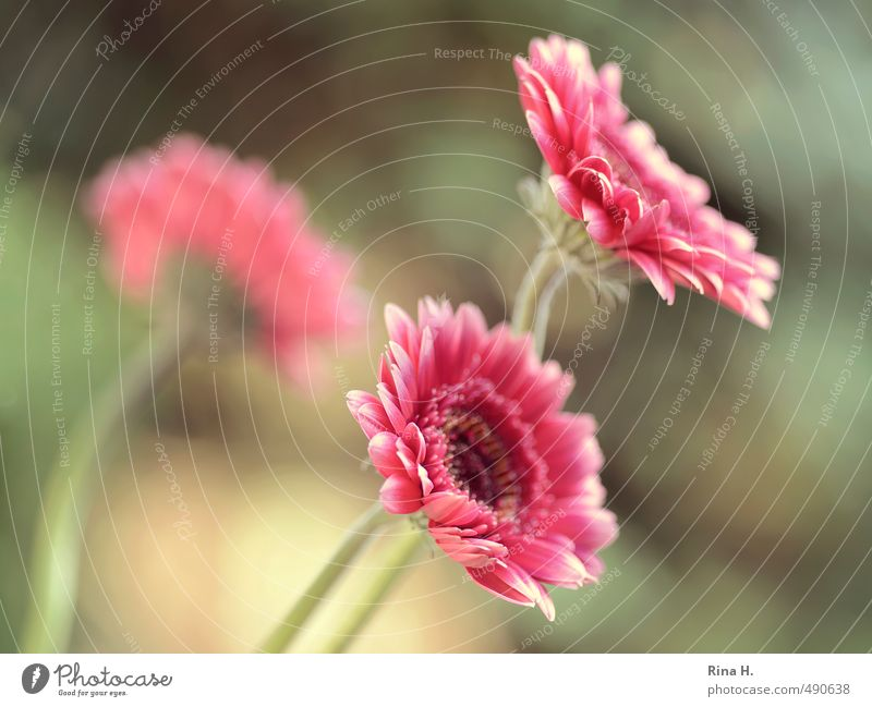 gerbera Blossom Gerbera Blossoming Pink Red 3 Colour photo Exterior shot Shallow depth of field