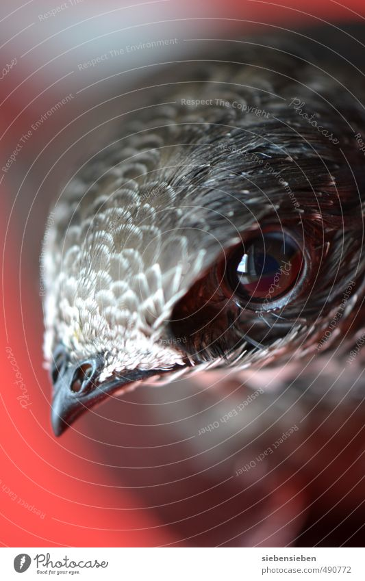 Common Swift Animal Wild animal Bird Animal face swifts 1 Baby animal Observe Flying Looking Exceptional Free Curiosity Gray Red Safety (feeling of)