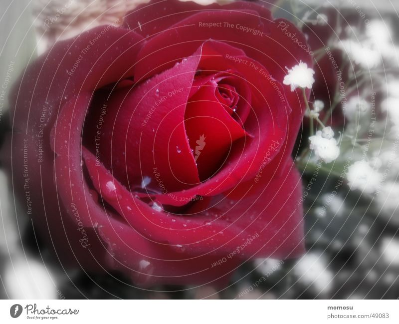 only for you Rose Flower Blossom Leaf Red Drops of water Bouquet Feasts & Celebrations