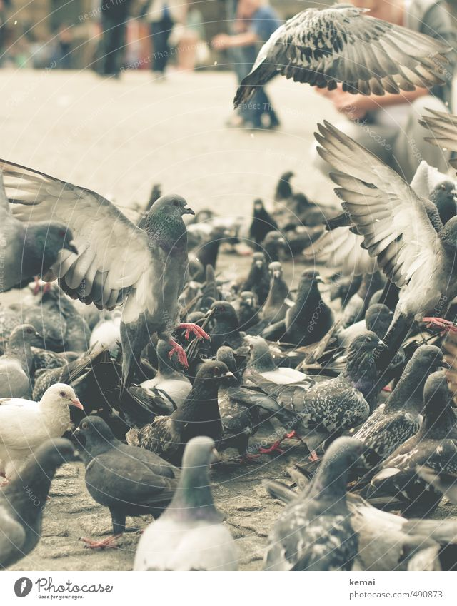 Animal | Large group Farm animal Bird Pigeon Group of animals Flock Flying To feed Sit Wing Colour photo Subdued colour Exterior shot Close-up Animal portrait