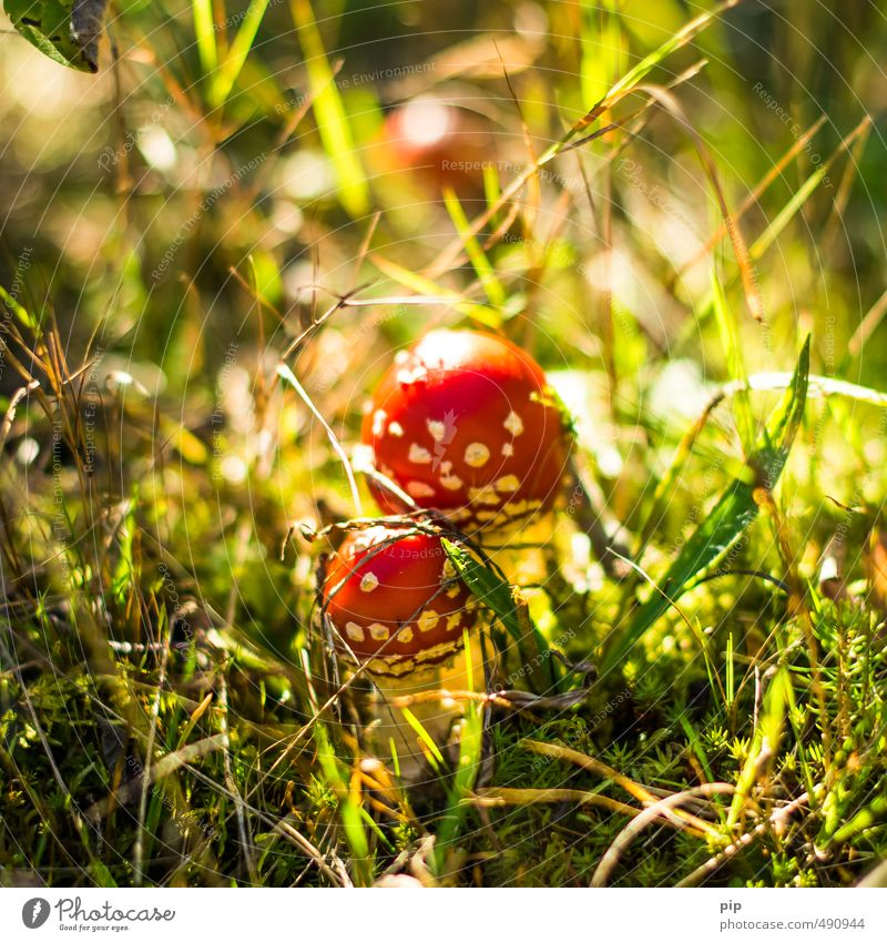 poison dwarfs Nature Plant Autumn Beautiful weather Grass Moss Mushroom Amanita mushroom Forest Undergrowth Red Poisonous plant In pairs 2 Small Inedible