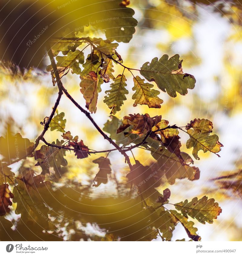 calibrated for autumn Environment Nature Plant Autumn Beautiful weather Tree Branch Leaf Oak tree Oak leaf Forest Brown Yellow Gold Autumnal Shriveled Limp