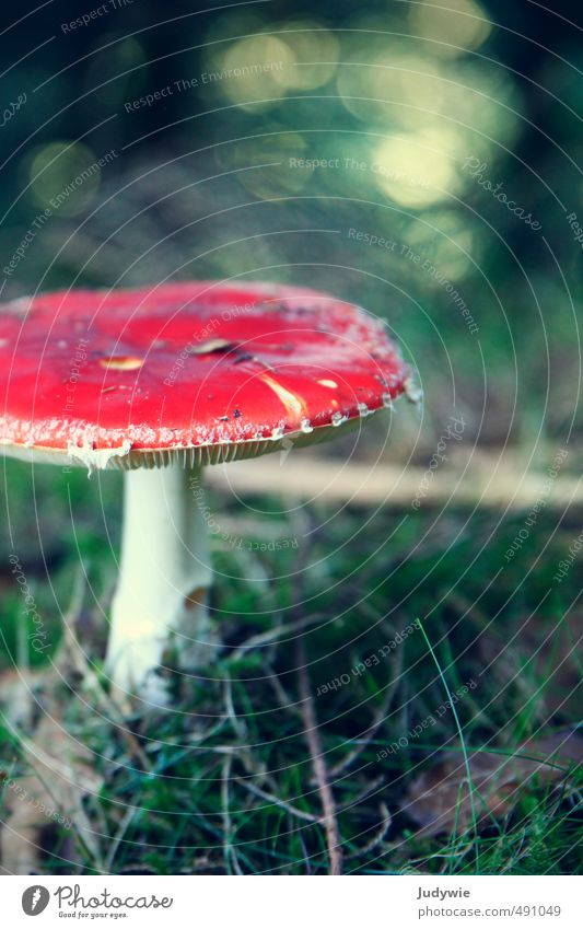 classic Healthy Allergy Trip Expedition Hallowe'en Environment Nature Plant Autumn Grass Bushes Moss Mushroom Amanita mushroom Forest Green Red Romance Colour