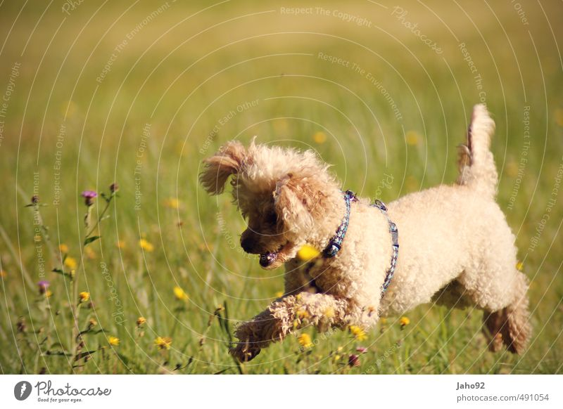 jumpinsfeld Playing Sports Environment Nature Landscape Spring Summer Autumn Beautiful weather Plant Grass Meadow Animal Pet Dog Poodle Movement Catch Hunting