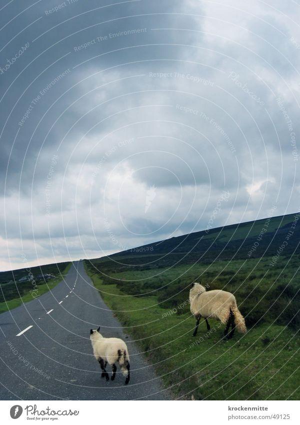 Sky Clouds Animal Far-off places Street Meadow Rain 2 Hiking Horizon Asphalt Pelt Sheep England Lose Roadside