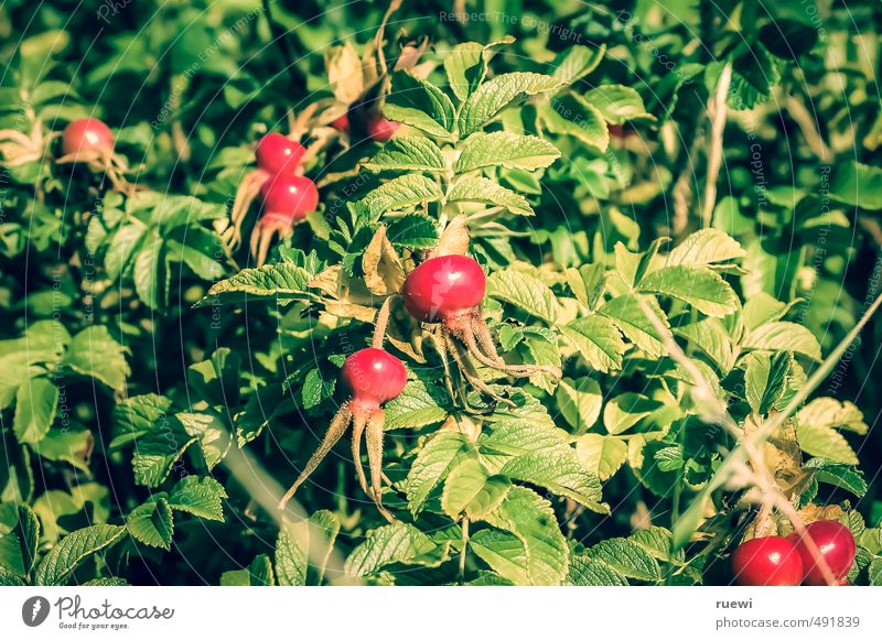 rose-hip Food Fruit Ingredients Raw vegetables Nutrition Tea Lifestyle Healthy Wellness Environment Nature Plant Summer Bushes Rose Foliage plant